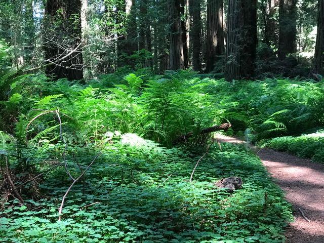 2018 06 14 Redwoods 58