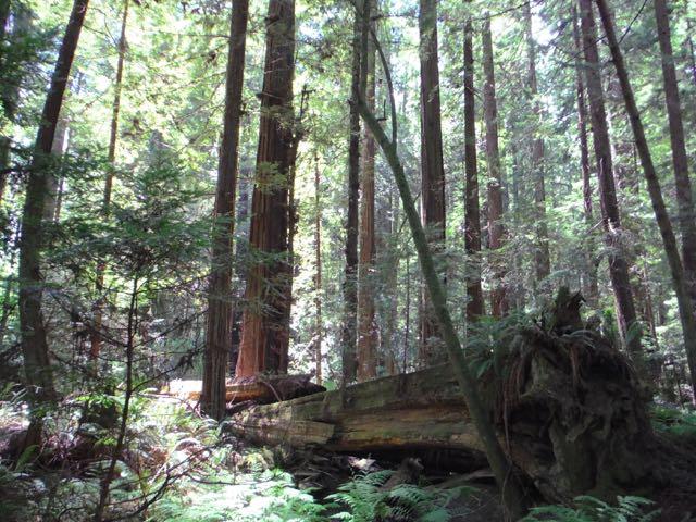 2018 06 14 Redwoods 62