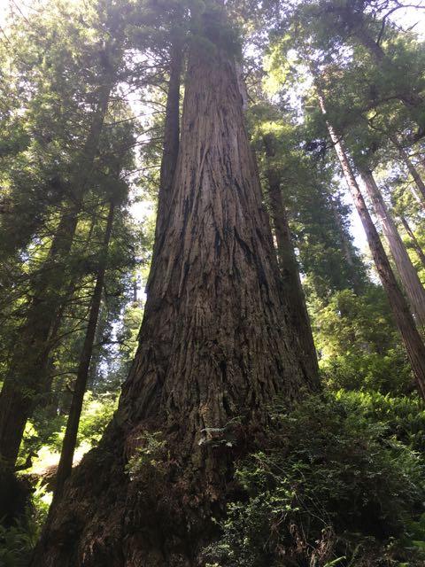 2018 06 14 Redwoods 7