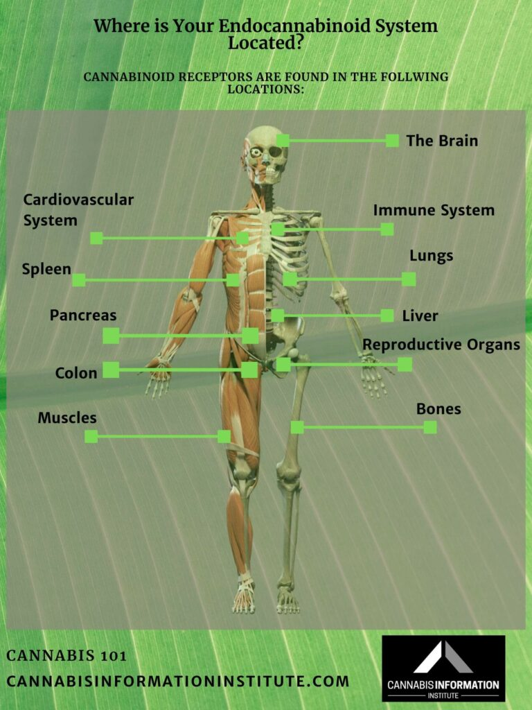what is the endocannabinoid system, what is the endocannabinoid system and what is its role, endocannabinoid system and cbd, endocannabinoid system deficiency, endocannabinoid system 101, endocannabinoid system harvard, endocannabinoid system overview, endocannabinoid system diagram, how does the endocannabinoid system work?, what is a cannabinoid receptor, CB1 and CB2 cannabinoid recpetors, cannabinoids and the human body, cannabis as a medicine