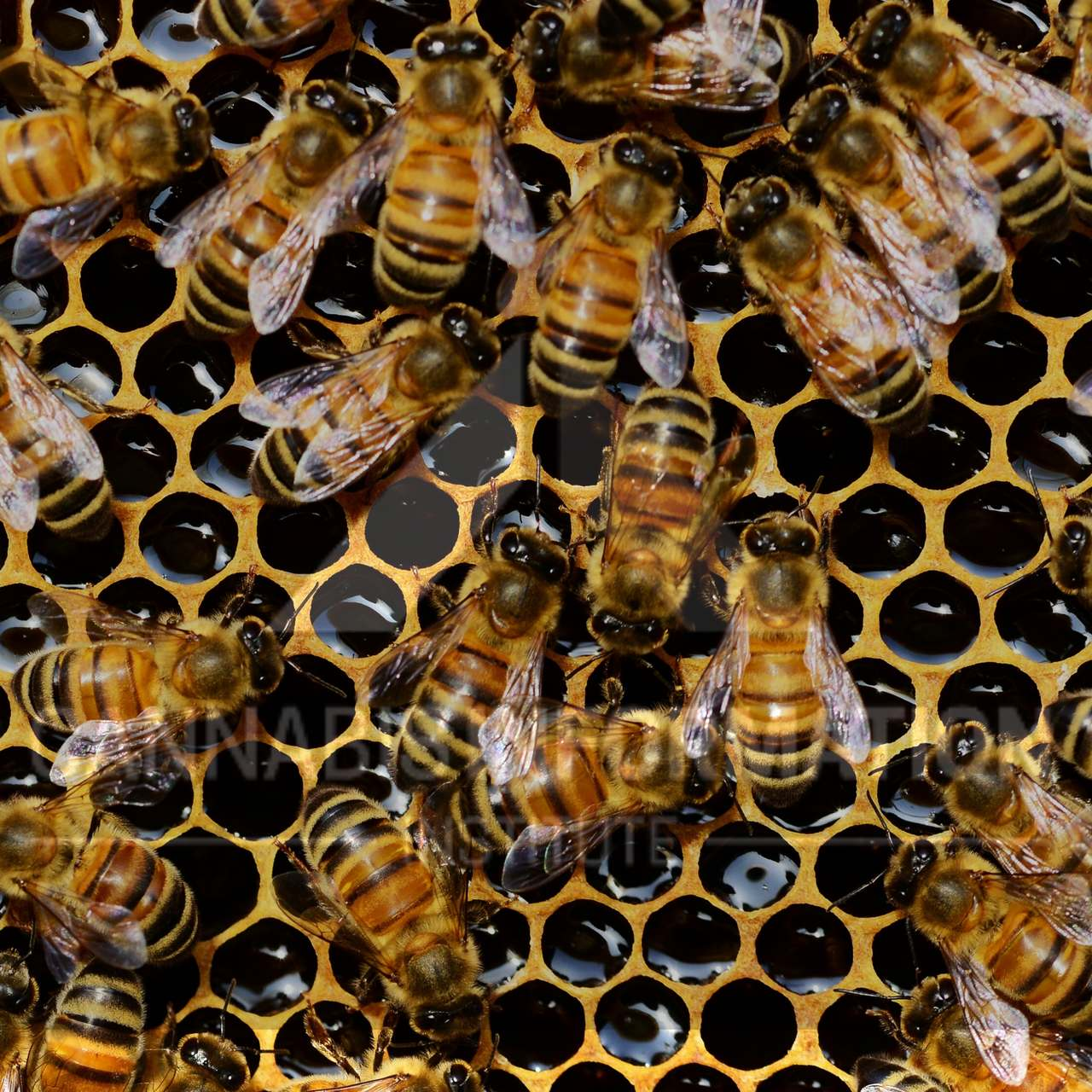 can bees make cannabis honey, hemp honey bees, do bees pollinate weeds, is cannahoney real, canna nectar, how do bees make honey, trained bees, high bees, does hemp honey get you high, how to make cannabis honey, cannahoney, cannabis edibles info, endocannabinoid system, honeybees and cannabis plants, do bees produce THC honey, CBD honey from bees,