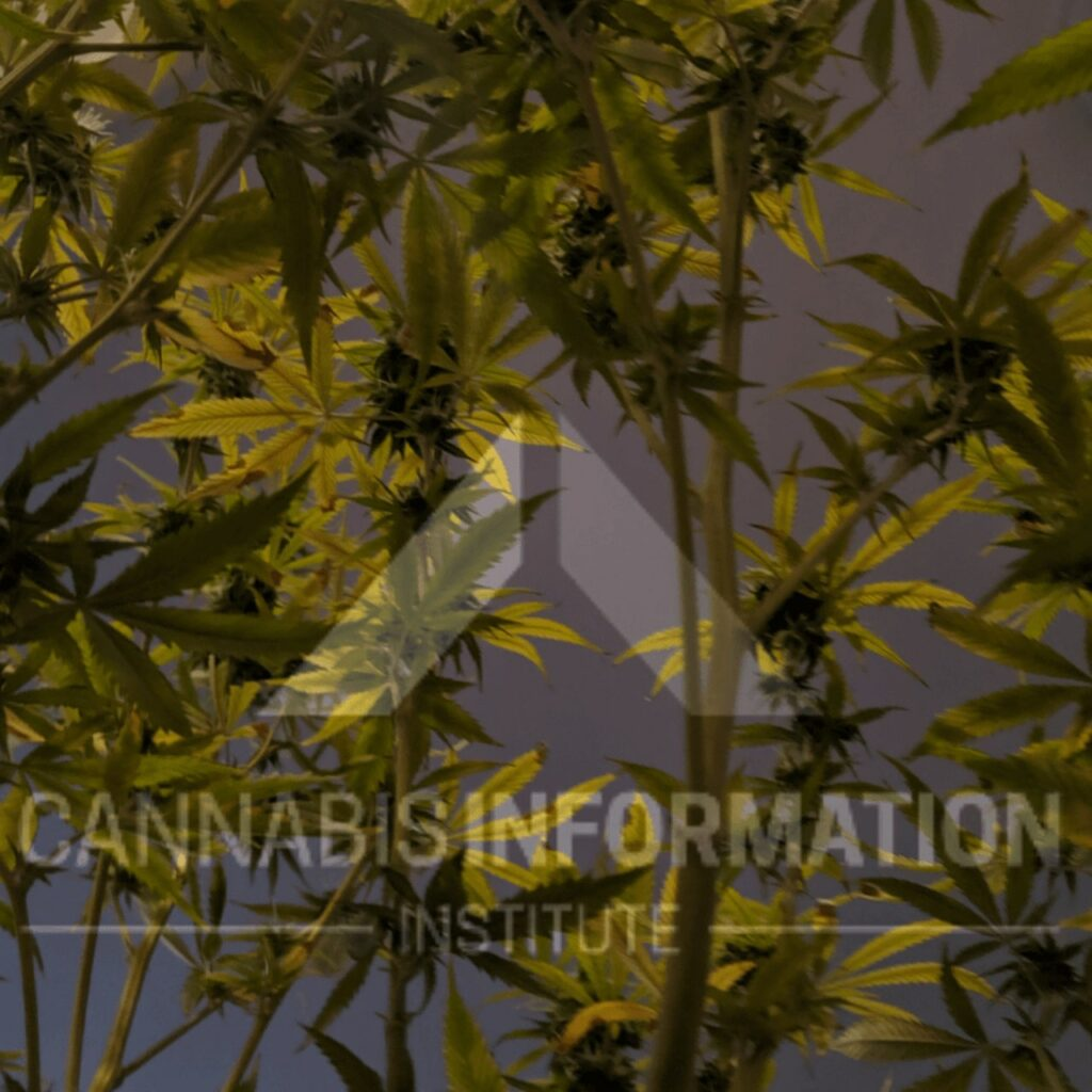 how to tell the difference between indica and sativa, sativa vs indica chart, cbd oil sativa vs indica, is there a difference between indica and sativa, indica high effects, chemical difference between sativa and indica, indica benefits, sativa strains, strain classification indica and sativa, cannabis strains indica and sativa, sativa versus indica, are indicas a night strain, are sativas a daytime strain,