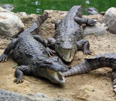 Marsh_Crocodiles_basking_in_the_sun