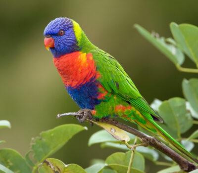 Rainbow-Lorikeet-Pictures