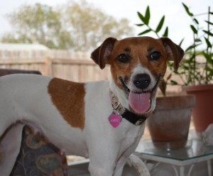 Laci, Luanne's Jack Russell Terrier girl