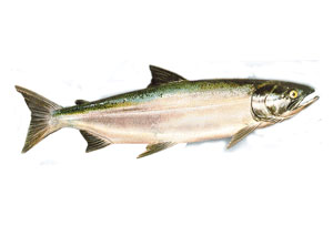 Saumon Coho Lac Ontario