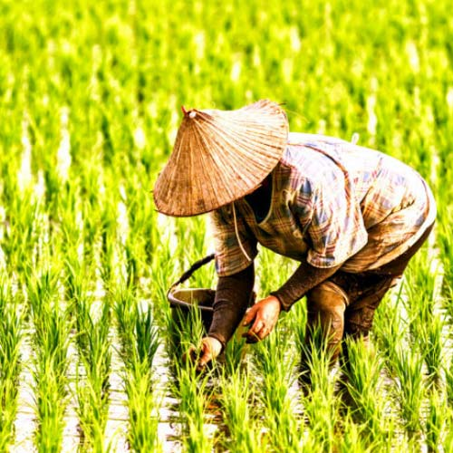 thị trường lúa gạo Việt Nam