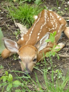 According to UM George Reserve Study, this fawn will conservatively represent 40 deer in 5 years