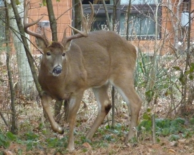 Large buck in yard in Glacier Highlands, NE Ann Arbor