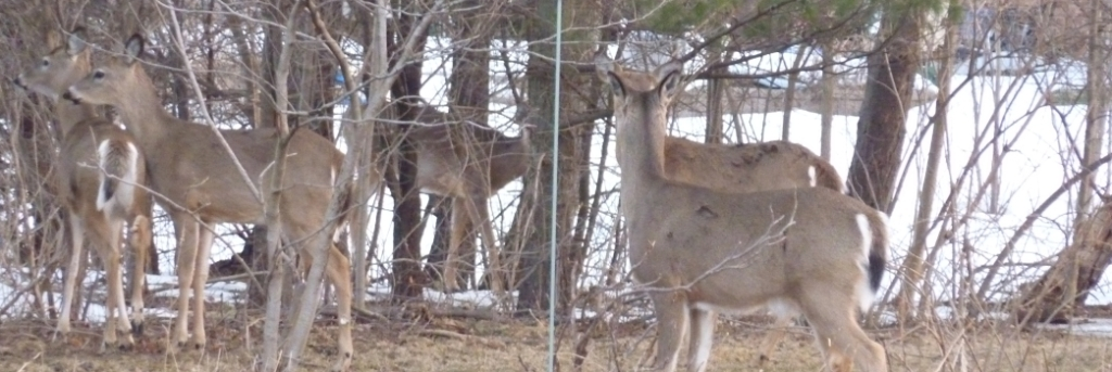 Deer in my yard last winter.  We have had herds as large as 18 deer go through at once.
