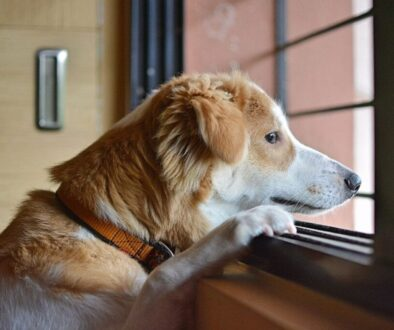 A pet dog looking out over the window.