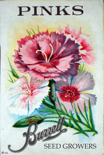 Dianthus, Pink Gigantic Seeds