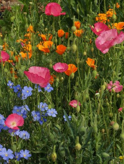 Dry Wildflower Mix Seeds