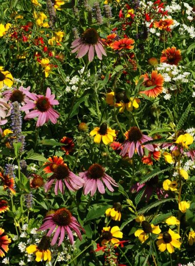 Eastern Xeriscape Mix Seeds