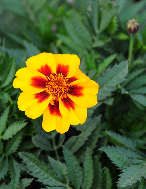 French Single Marigold seeds