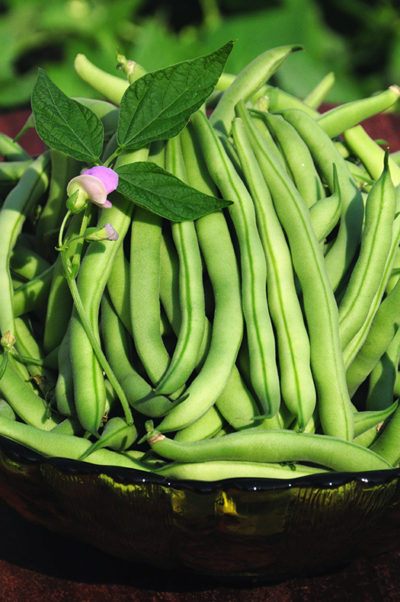 Improved Tendergreen Beans