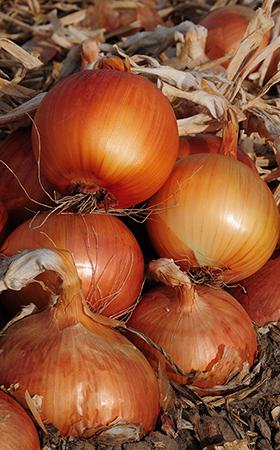 Sweet Spanish Colorado 6 Onion Seeds