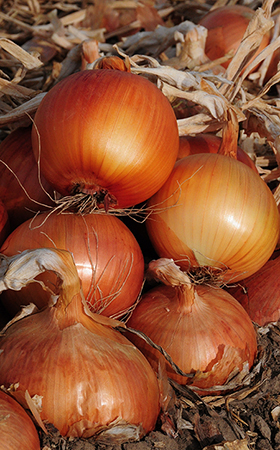 Sweet Spanish Colorado 6 Onion Seeds