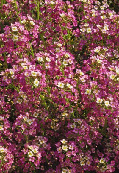 Dwarf Pink Alyssum Seeds