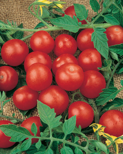 Tiny Tim Tomato seeds