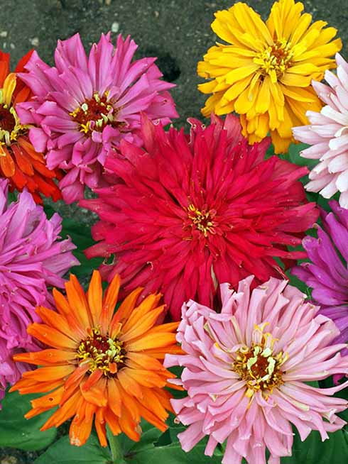 Cactus Flower Zinnia seeds