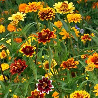 Persian Carpet Zinnia Seeds
