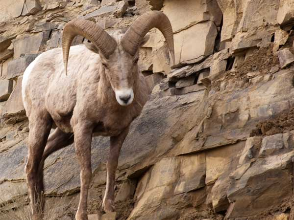 Wildlife - Bighorn Ram