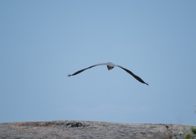 Blue Heron Flying 3