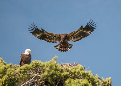 Eaglet 7.31 a