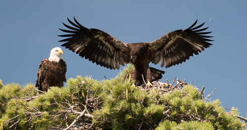 Eaglet 7.31 b