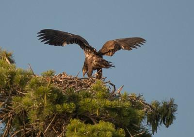 Eaglet b 8.5.14