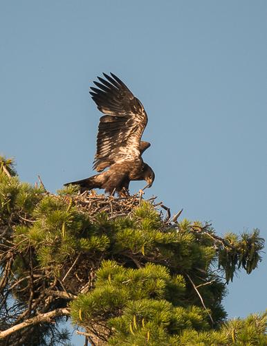 Eaglet c 8.5.14