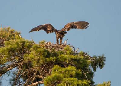 Eaglet d 8.5.14