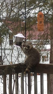 RAcoon by Jason