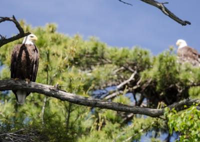eaglet_09