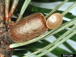 Naturalist Introduced Pine Sawfly Cocoon.