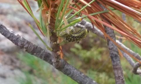 Pine Sawfly 1