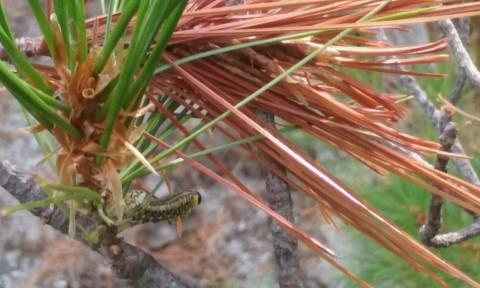 Pine Sawfly 2