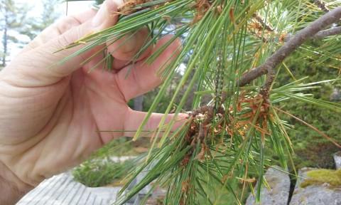 Pine Sawfly camoflauged the pine trees