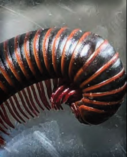 Millipedes, Bark Lice, and Oakworms
