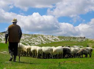 shepherdjpg