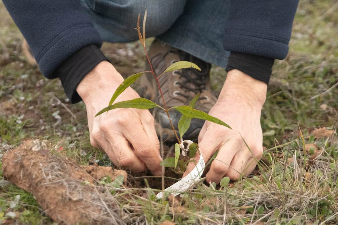 Project preparing Eucalypts for climate change