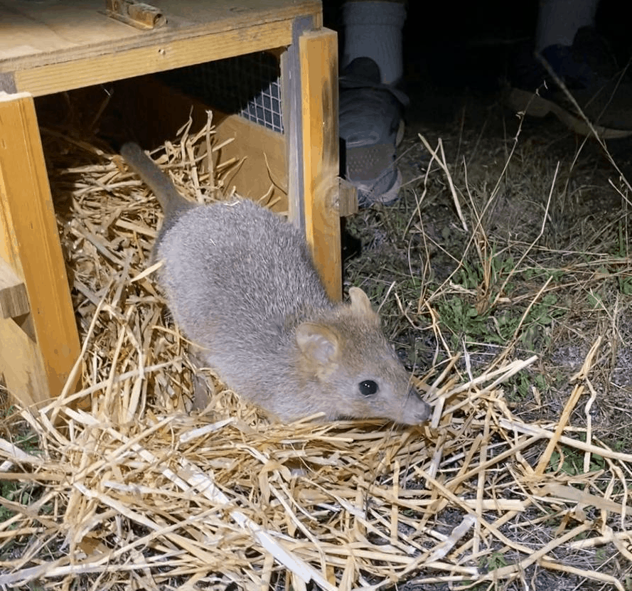 Bringing the Bettong Back!