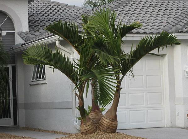 triple bottle palm tree