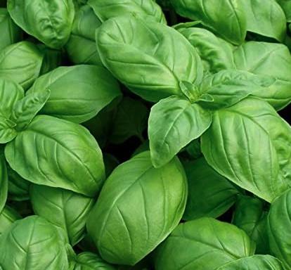 Basil – large leaf Genovese basil (sweet basil)