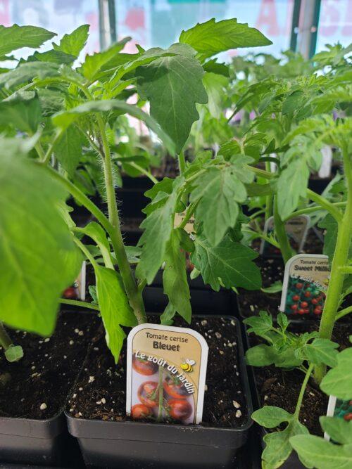 tomate cerise BLEUET