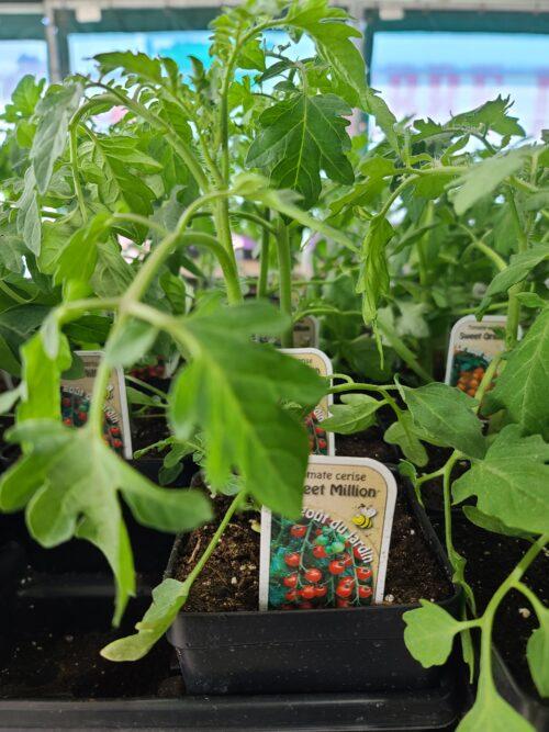 tomate cerise SWEET MILLION