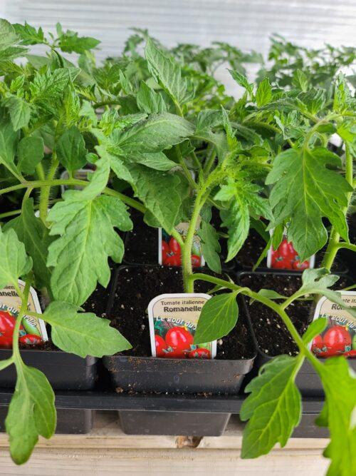 tomate italienne ROMANELLE