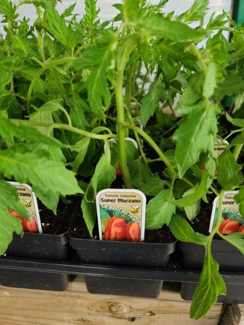 tomate italienne SUPER MARZANO