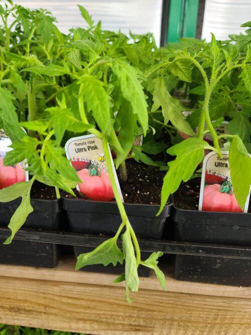 tomate rose ULTRA PINK